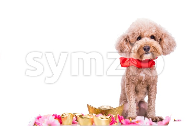 Dog in Chinese New Year festive setting in white background Stock Photo