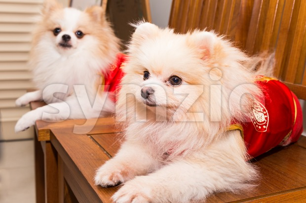 Dogs dressed in Chinese New Year costume with word lucky Stock Photo