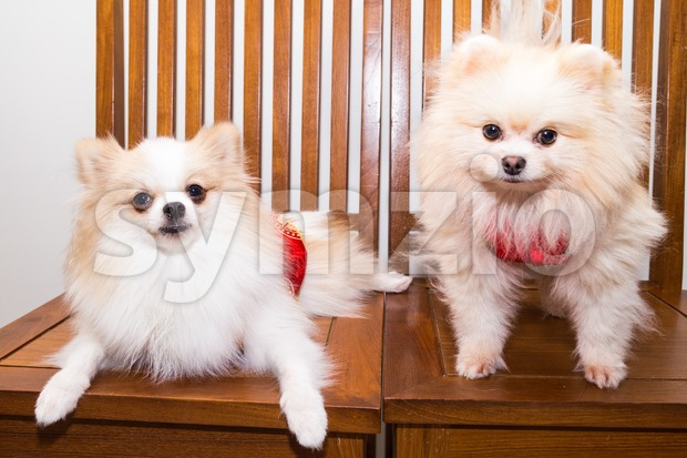 Purebred pomeranian dogs dressed in Chinese New Year costume with the word Luck to ursher the festive celebration