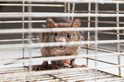 Close up of anxious rat trapped in metal cage Stock Photo