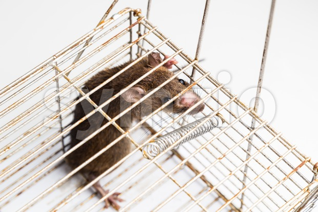 Top angle shot of  anxious rat trapped and caught in metal cage