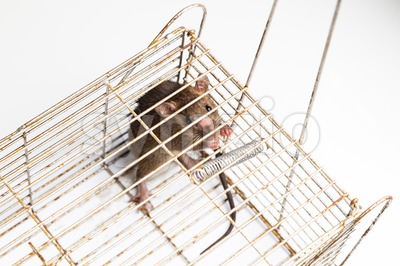 Top angle shot of anxious rat trapped in metal cage Stock Photo