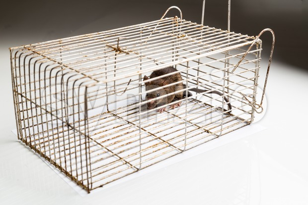 Metal cage with a trapped rat Stock Photo