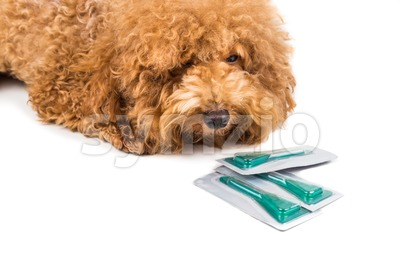 Dog next to medicine for  ticks, fleas and lice control Stock Photo