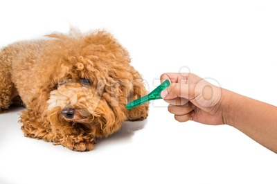 Dog ready for medicine  to control flea, lice and mites. Stock Photo