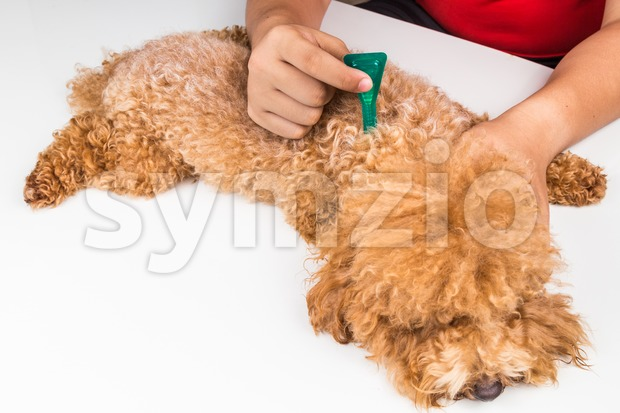 Vet applying ticks, lice and mites control medicine on dog Stock Photo