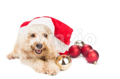 Smiling poodle dog in santa costume posing with Christmas ornaments. Stock Photo