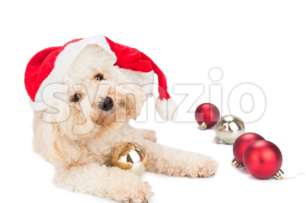 Cute poodle dog in santa costume posing with Christmas ornaments. Stock Photo