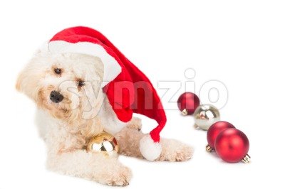 Adorable poodle dog in santa costume posing with Christmas ornaments. Stock Photo