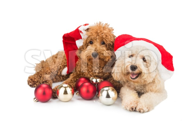 Two cute poodle puppies in santa costume with Christmas ornaments. Stock Photo