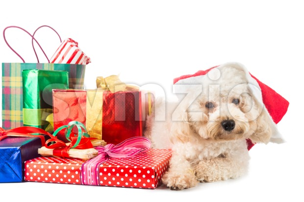 Cute poodle puppy in Santa costume with abundant Christmas gifts. Stock Photo