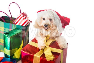 Smiling poodle puppy in Santa costume with abundant Christmas gifts. Stock Photo