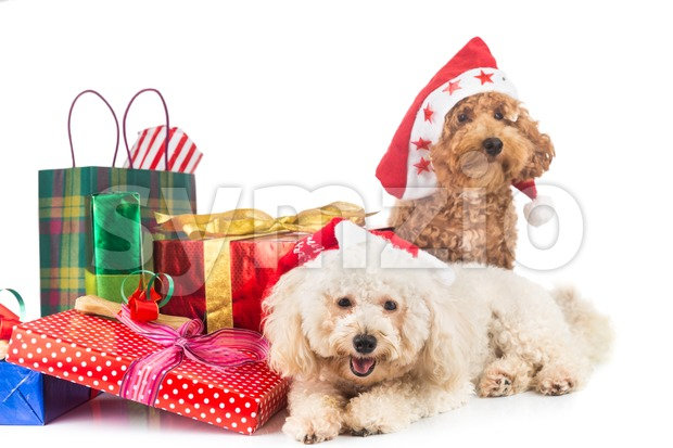 Cute poodle puppies in Santa costume with abundant Christmas gifts. Stock Photo