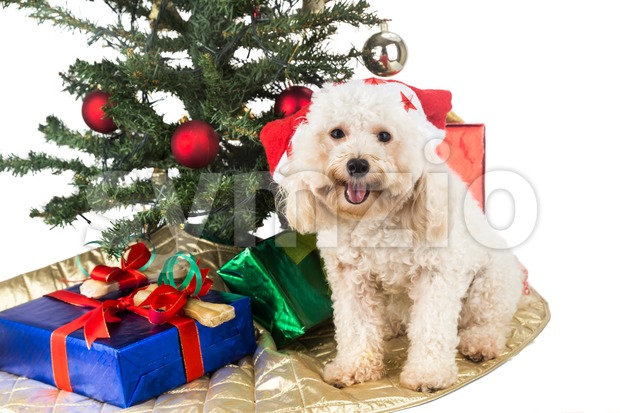 Smiling poodle puppy in Santa hat with Chrismas tree and gifts. Stock Photo