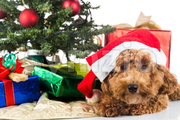 Cute poodle puppy in Santa hat with Chrismas tree and gifts