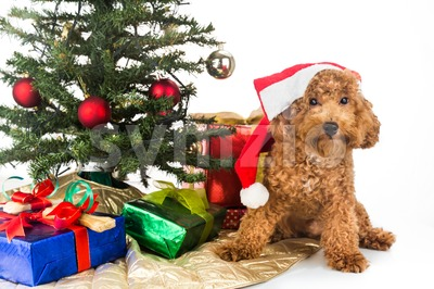 Cute poodle puppy in Santa hat with Chrismas tree and gifts. Stock Photo