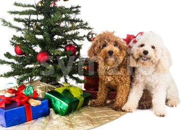 Cute poodle puppies in Santa hat with Chrismas tree and gifts. Stock Photo