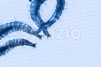 Close up of mosquito larvae with blue lighted background Stock Photo
