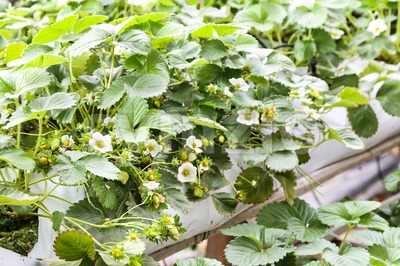 Strawberry flower and buds planted in containers. Stock Photo