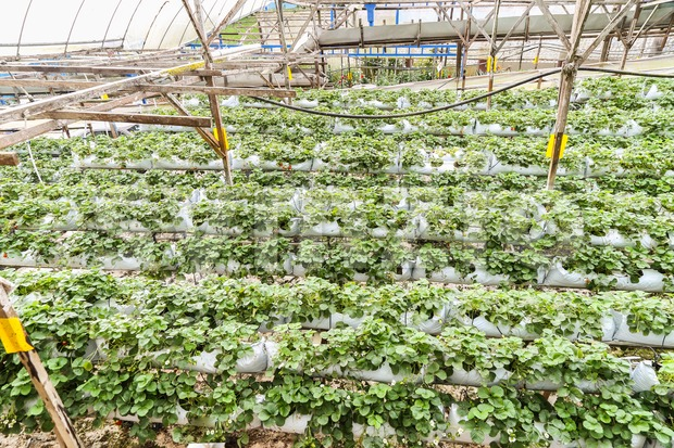 Strawberry farming in containers with canopy and water irrigation system