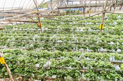 Strawberry farming in containers with canopy and water irrigation Stock Photo