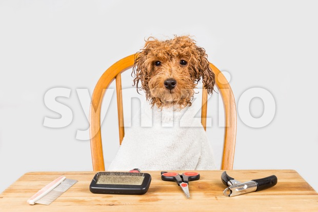 Concept of wet poodle dog seated after shower ready to be groomed in salon