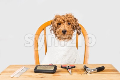 Concept of wet poodle dog seated after shower ready to be groomed in salon Stock Photo