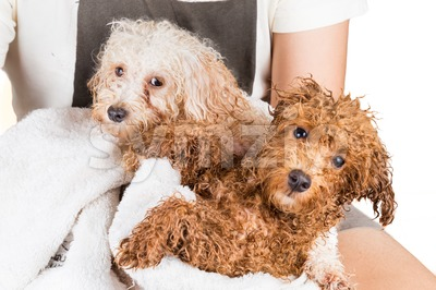 Wet poodle puppies wrapped in towel after shower Stock Photo