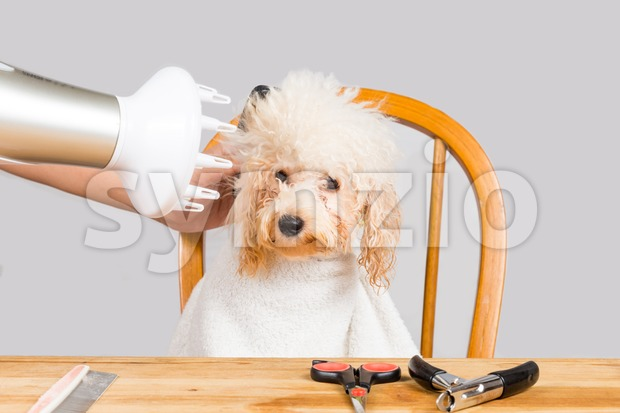 Concept of wet poodle dog fur being blown dry and groom after shower at salon Stock Photo