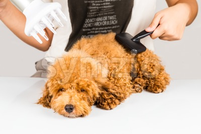 Wet poodle dog fur being blown dry and groom after shower at salon Stock Photo