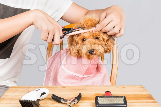 Concept of poodle dog fur being cut and groom in salon