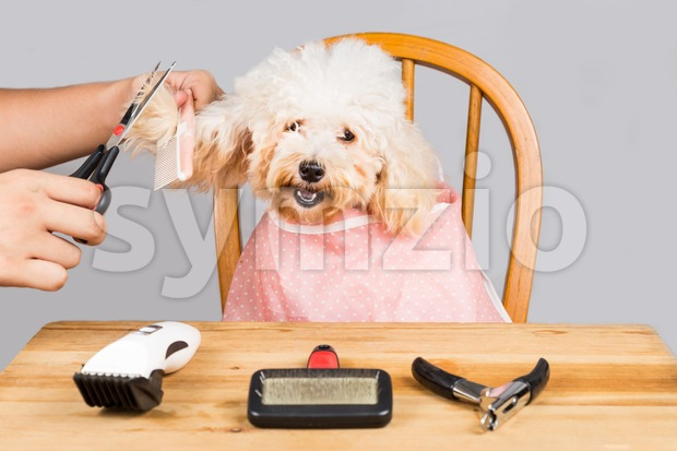 Concept of poodle dog fur being cut and groom in salon Stock Photo
