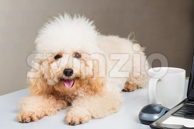 Cute poodle puppy accompany person working with laptop computer on office desk