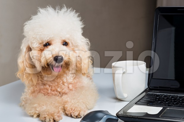 Cute poodle puppy accompany person working with laptop computer on office desk Stock Photo