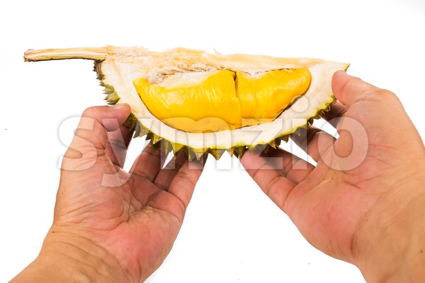 Hand holding a portion of Musang King variety durian husk with its ripe and soft delicious flesh Stock Photo